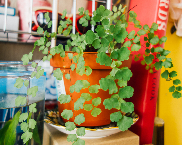 maidenhair fern in pot