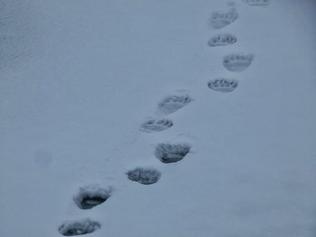 Huellas de oso polar en Svalbard