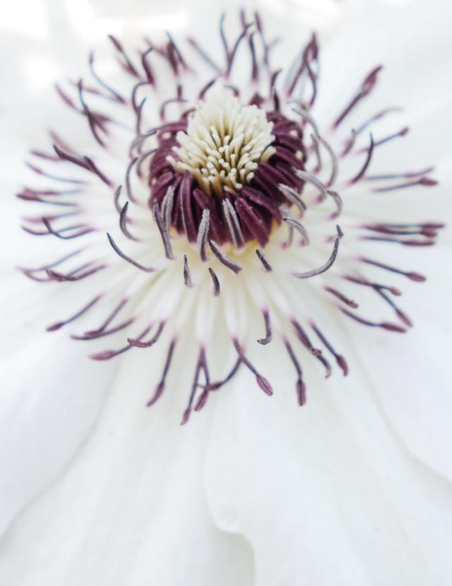 passion flower close up