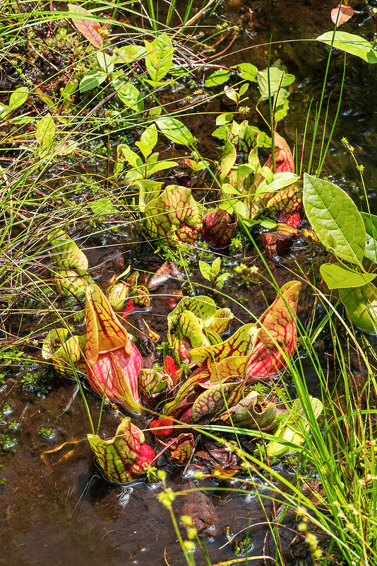 Mountain Purple Pitcher Plants