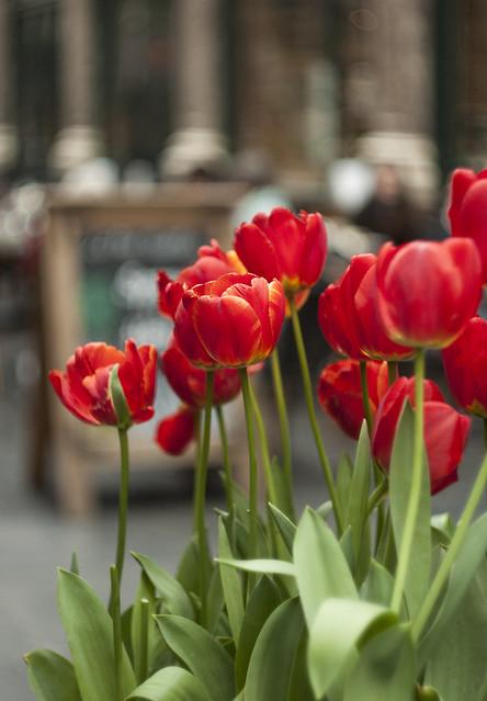 Czerwone tulipany w Brukseli
