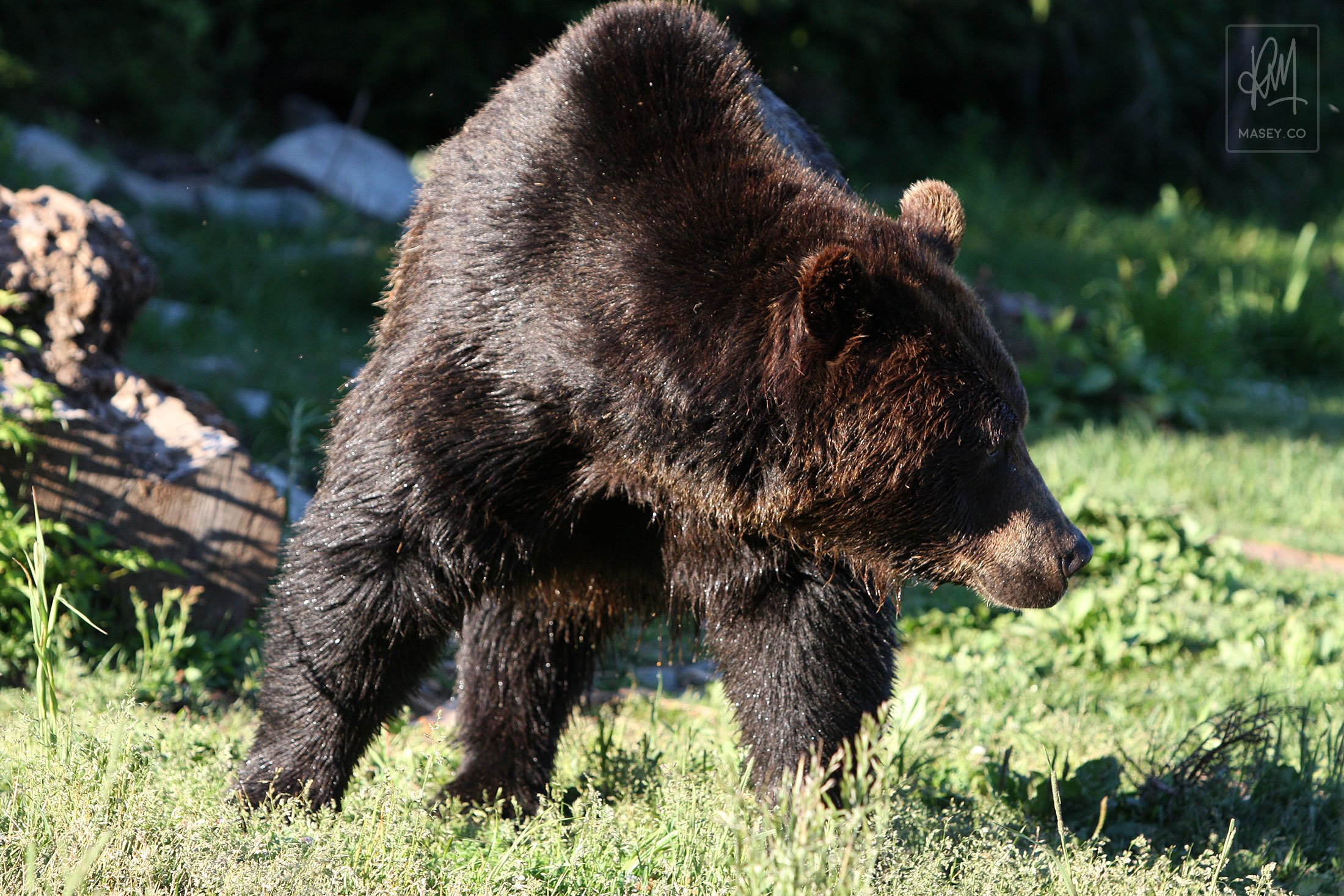 Grouse Mountain's Grizzlies