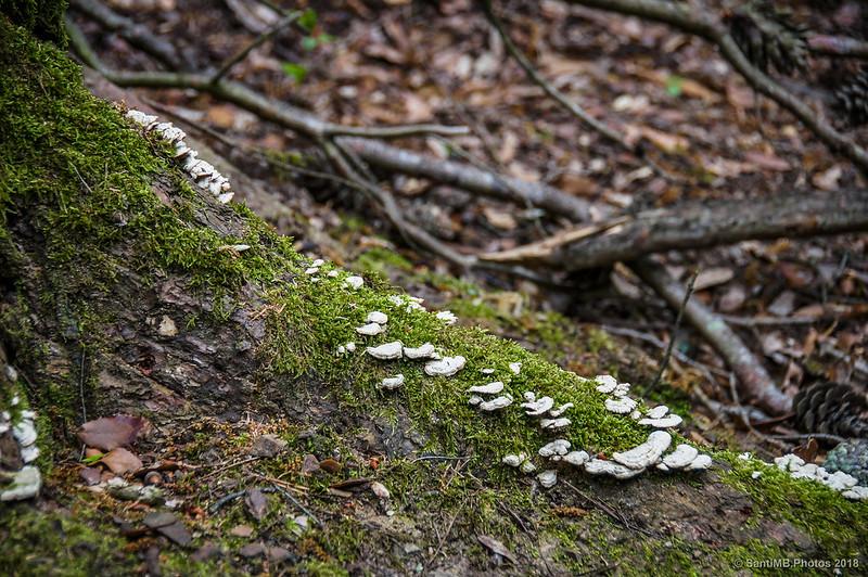 Setas y musgo en la raíz de un árbol de camino a Can Cerdà