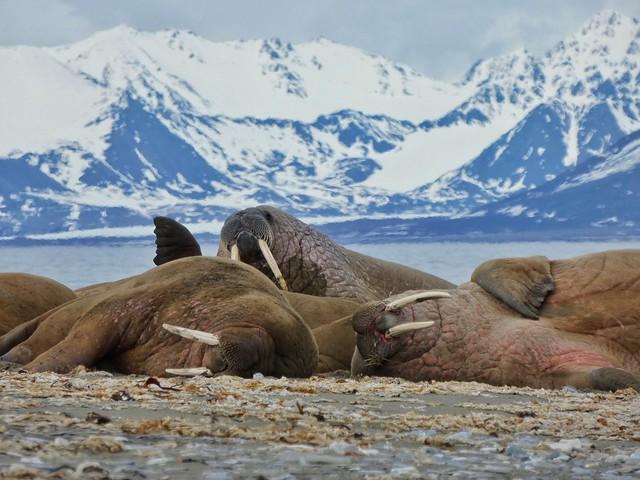 Morsas en Poolepynten (Svalbard)