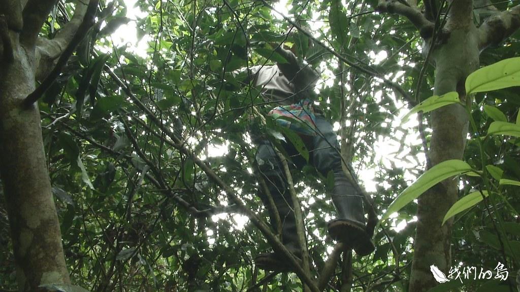 956-3-7站在三米高的樹上,人稱「阿裕師」的羅榮裕,道盡採茶的辛苦,十八般武藝樣樣都要會。