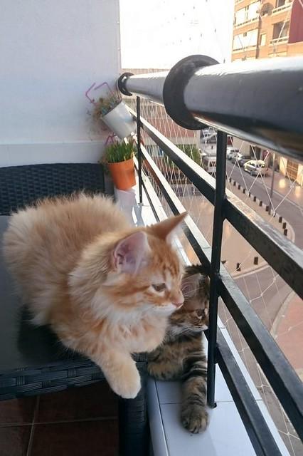 Suhaila, gatita parda con toques canela pelo largo guapísima, nacida en Febrero´18, en adopción. Valencia. ADOPTADA. 42382665251_d309632462_z