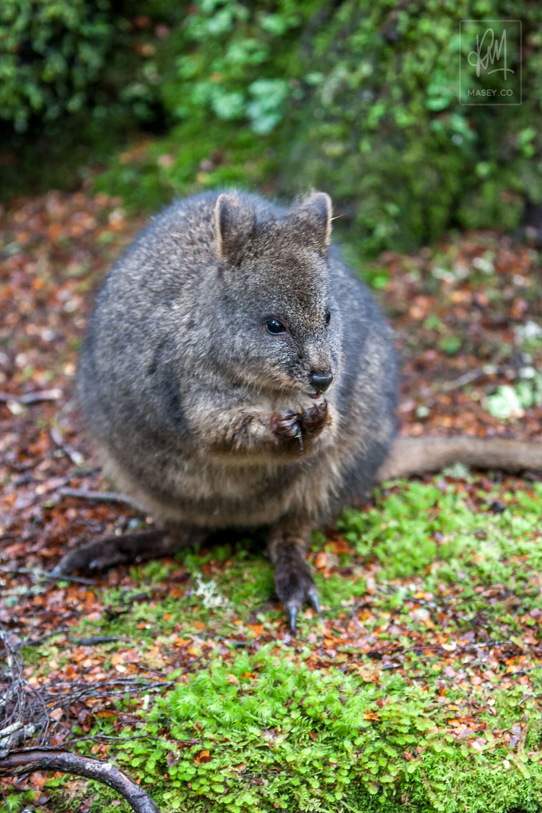 One final Pademelon encounter