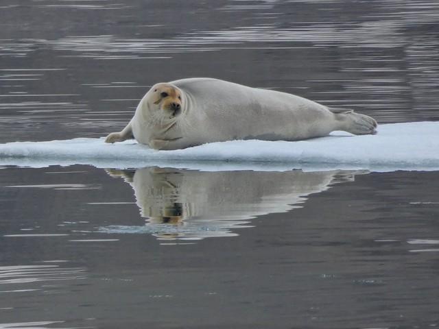Foca barbuda en Svalbard