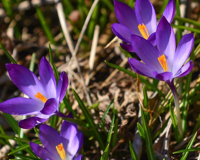 Flores lilas entre las rocas saliendo por Primavera en el pueblo de Hallstatt