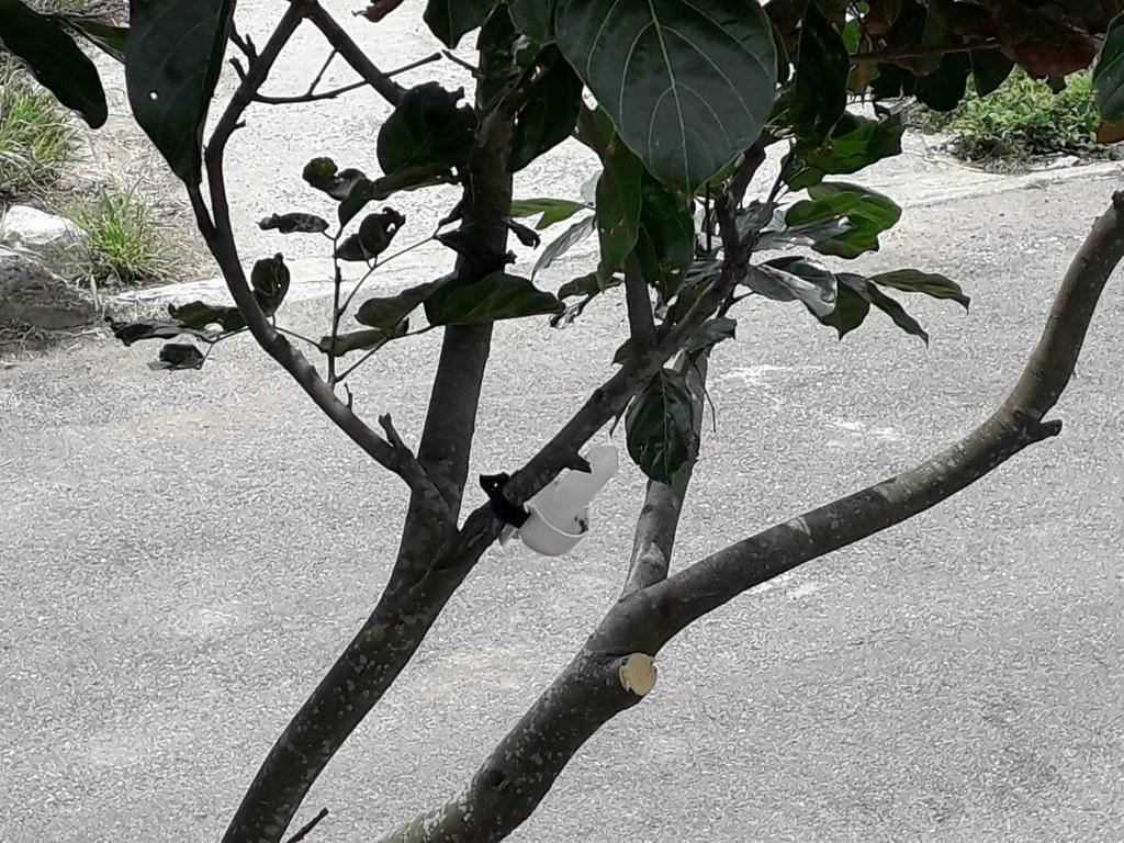 餌劑擺放的範圍不僅有路旁,會根據黃狂蟻的活動範圍進行防治。