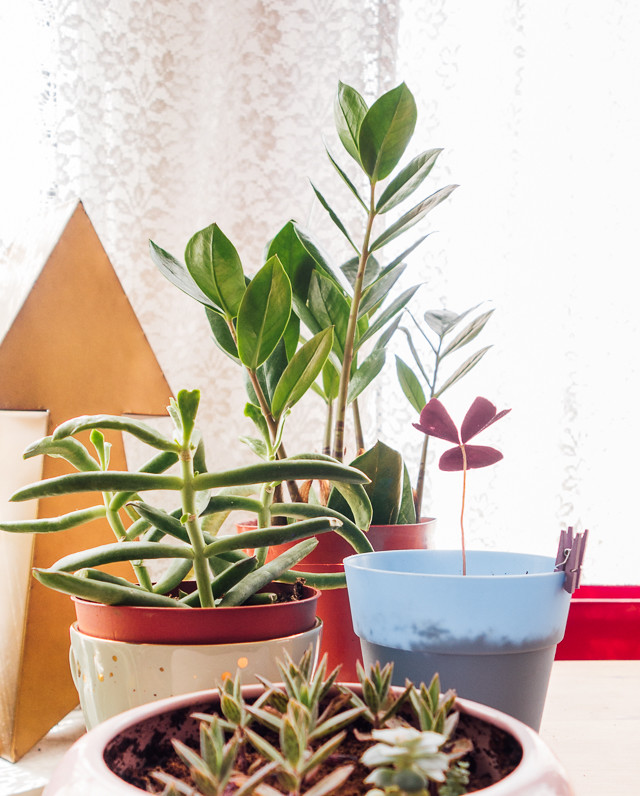 zz plant, oxalis and alligator plant