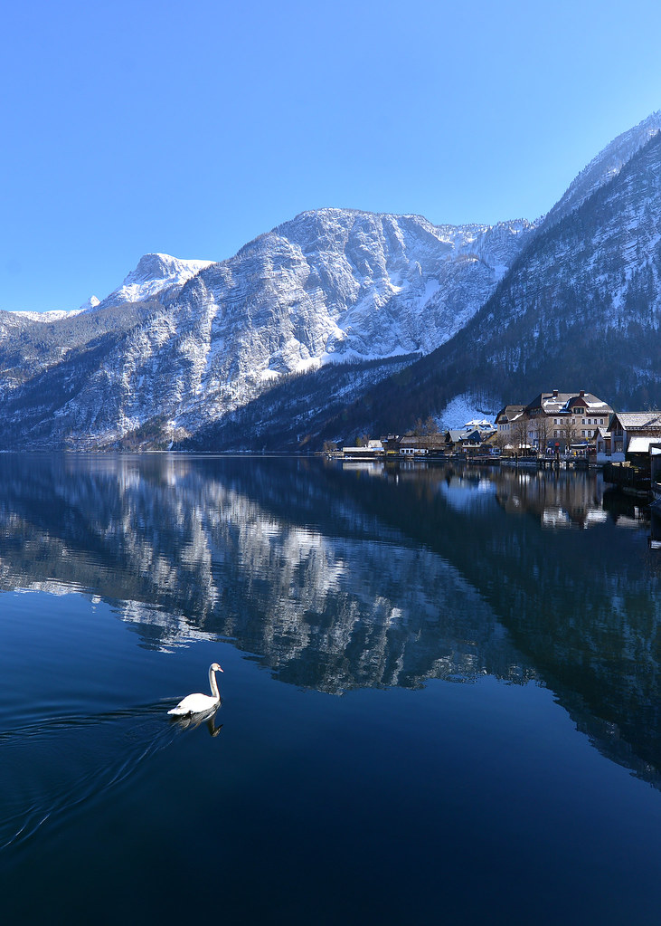 Cisne nadando en el lago Hallstätter, en Austria