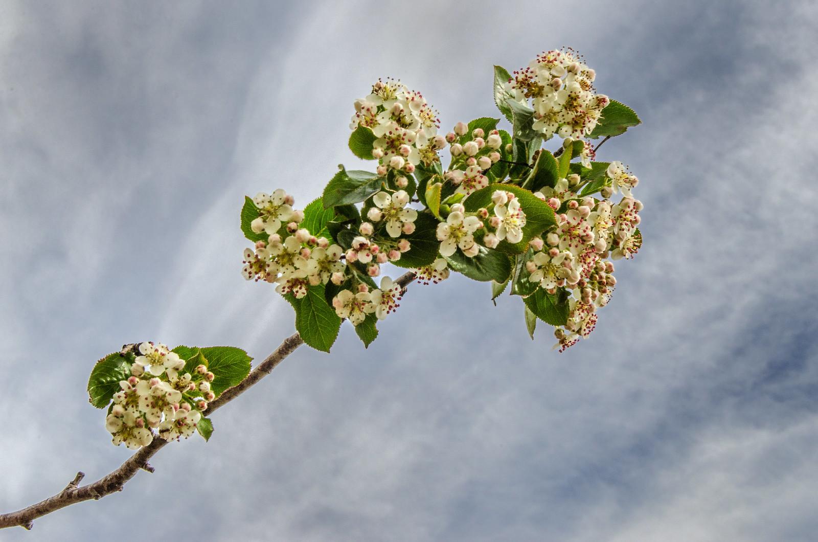 Цветы черноплодной рябины