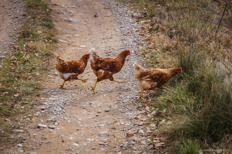 Gallinas corriendo