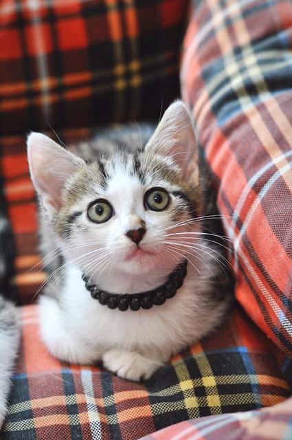 Sento, gatito blanquipardo dulcísimo y guapo nacido en Abril´18, en adopción. Valencia. ADOPTADO. 42688249851_627000d3c2_z