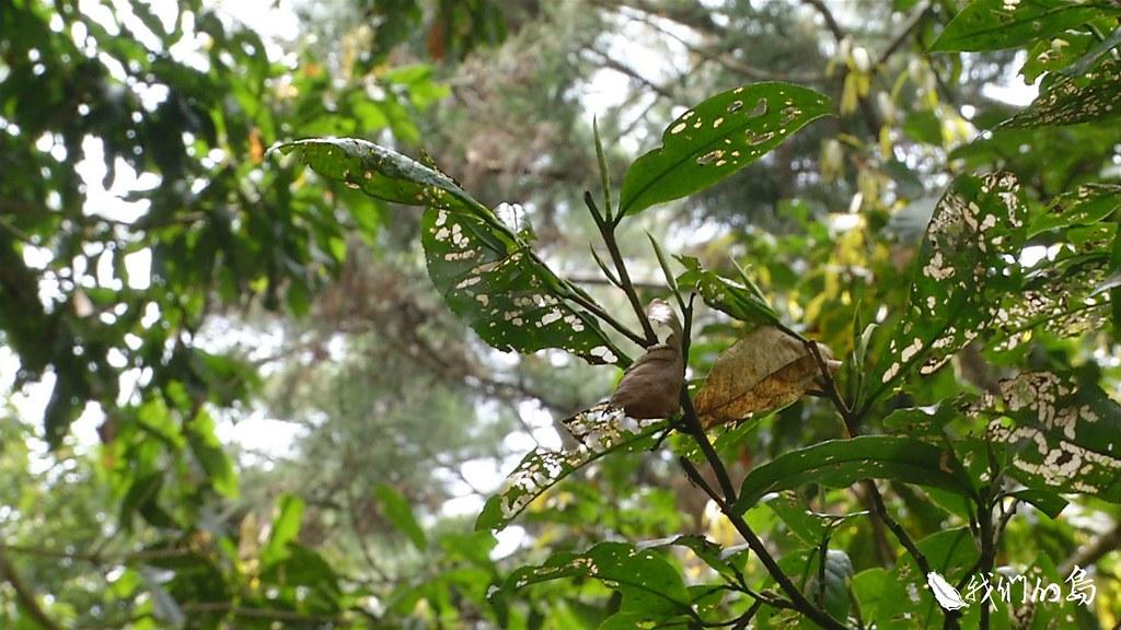 956-3-19蟲害嚴重的台灣山茶樹,茶改場魚池分場分場長黃正宗認為,為了保護茶樹,開辦七年的山茶標售計畫,今年暫停。