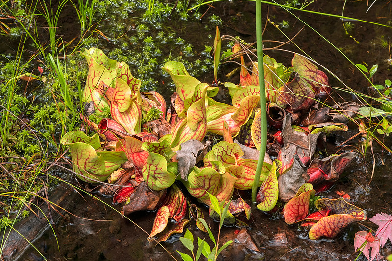 Mountain Purple Pitcher Plant