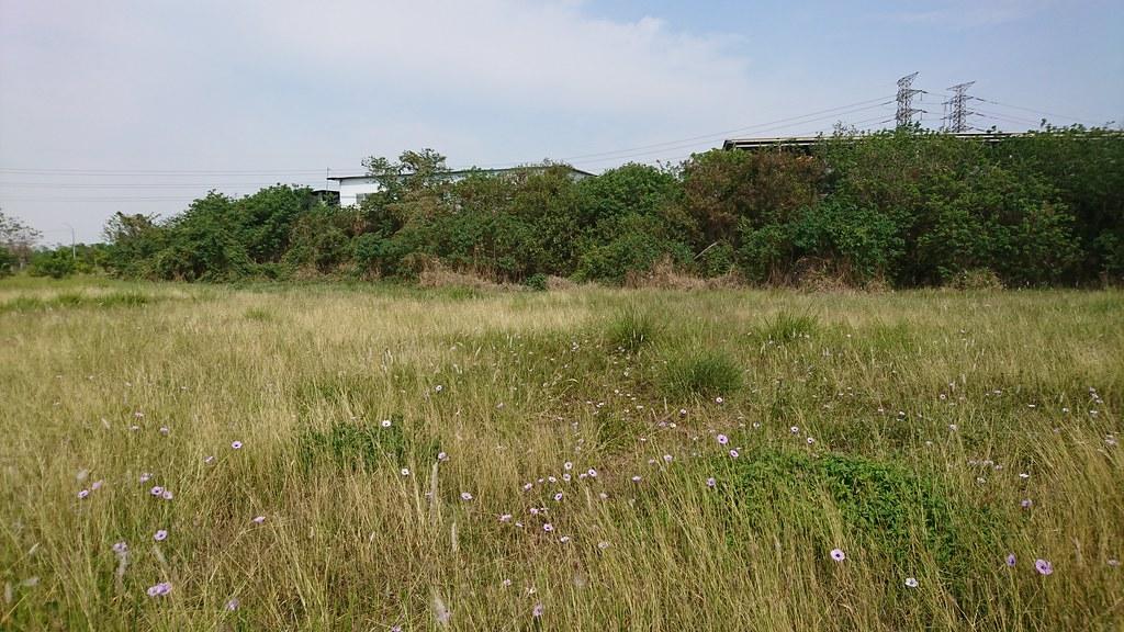 樹木的後方是突然蓋起來的鐵皮工廠,前方的草地彷彿有結界一般,隔絕樹木的生長。攝影:陳姿蓉。