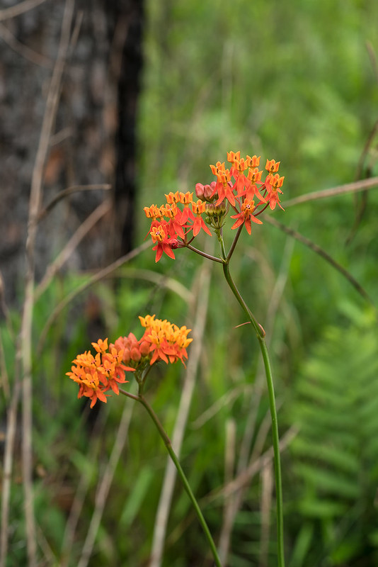 Few-flowered Milkweed