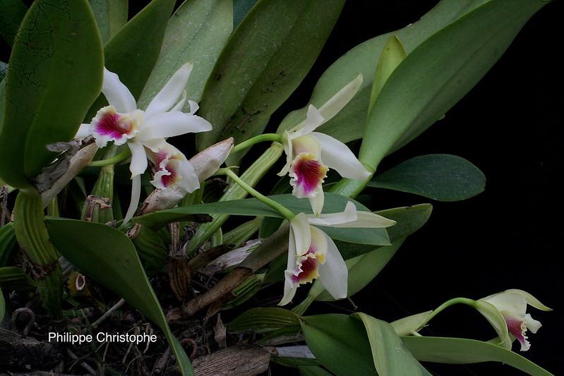 Cattleya × blossfeldiana 40725651970_dcc685dd04_c