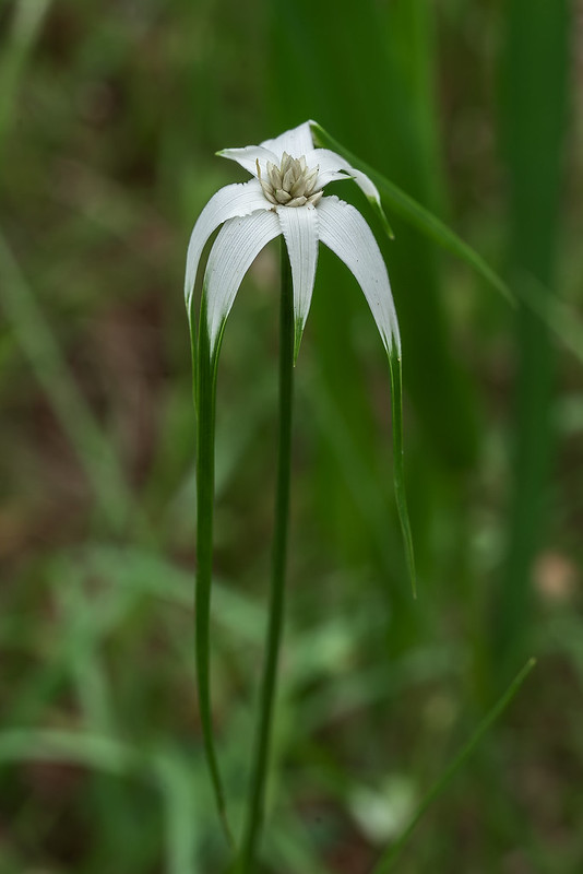 Sand-swamp Whitetop Sedge