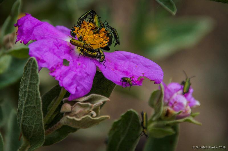Orgía de Lobonyx aeneus en flor de Cistus albidus