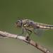 Vierfleck Libelle (Libellula quadrimaculata)