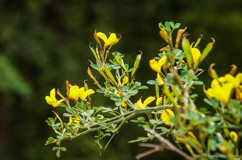 Genista en flor en el camino de Can Coll a Can Cerdà