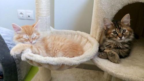 Suhaila, gatita parda con toques canela pelo largo guapísima, nacida en Febrero´18, en adopción. Valencia. ADOPTADA. 41479944075_86af7ed367