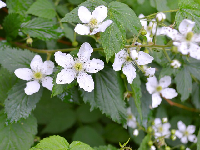 May June Bramble Blossoms Closeup