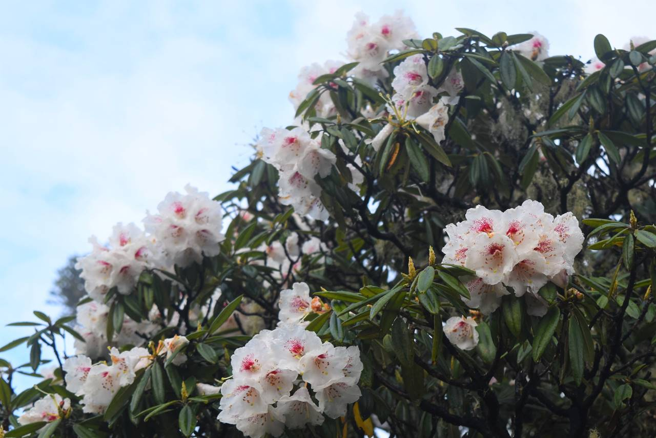 台湾・雪山 登山道に咲くシャクナゲ