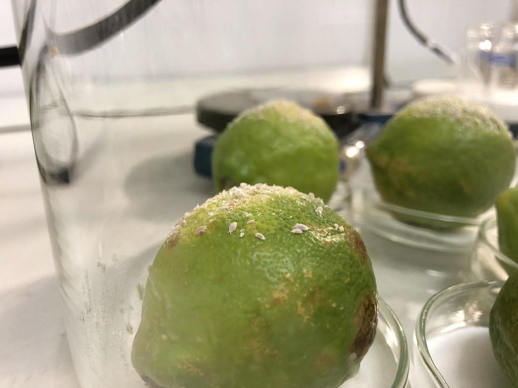 令柑橘果農頗為頭痛的粉蚧。圖片來源:Earlham Institute