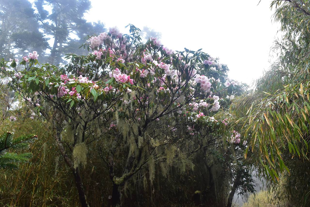 台湾・雪山 シャクナゲの木
