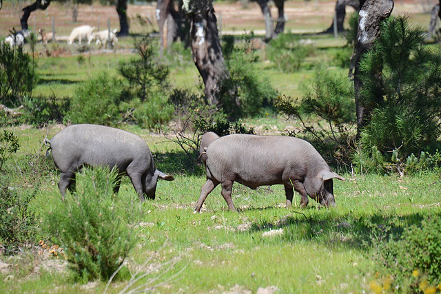 Iberian black pigs, Portugal