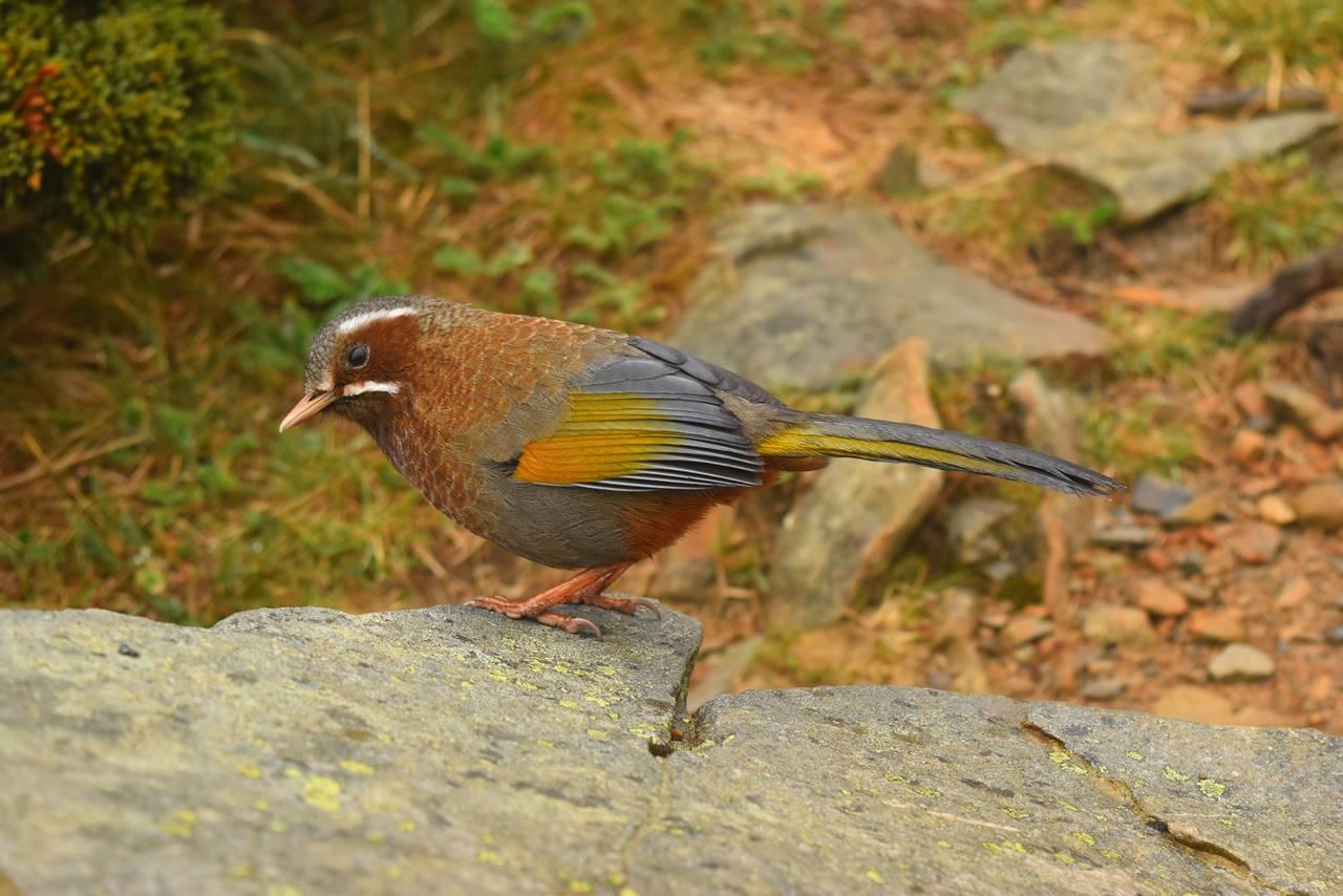 台湾・雪山で見た鳥
