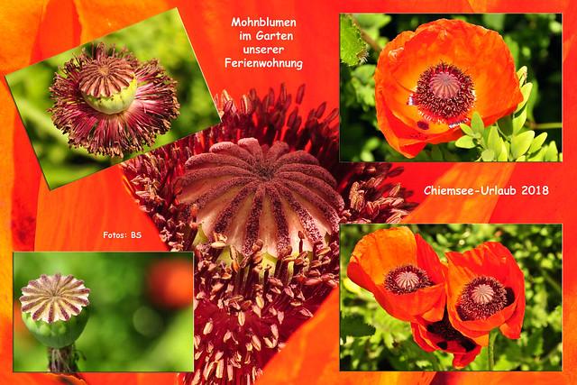 Chiemsee-Urlaub 2018 ... Mohnblumen im Garten der Ferienwohnung ... Foto-Collage: Brigitte Stolle