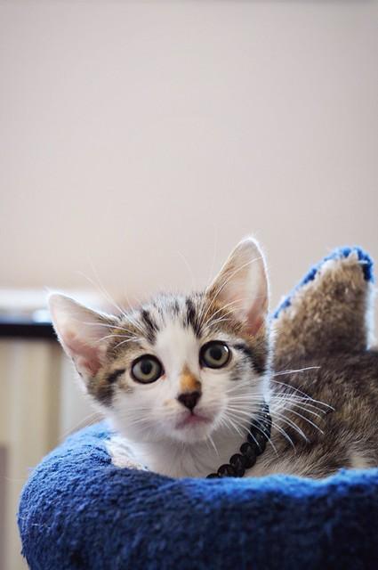 Sento, gatito blanquipardo dulcísimo y guapo nacido en Abril´18, en adopción. Valencia. ADOPTADO. 41788501445_9333dbe74f_z