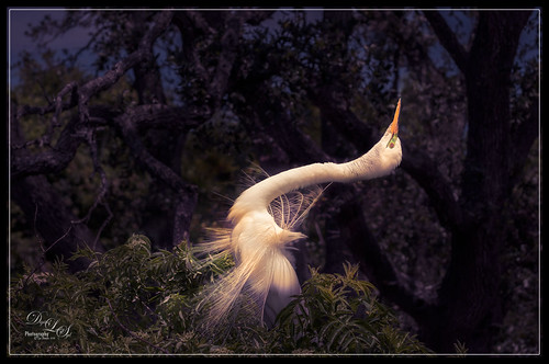 Image of Snowy Egret during mating season