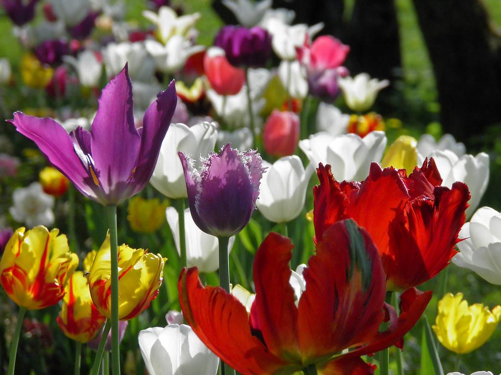 Тюльпаны Коломенского