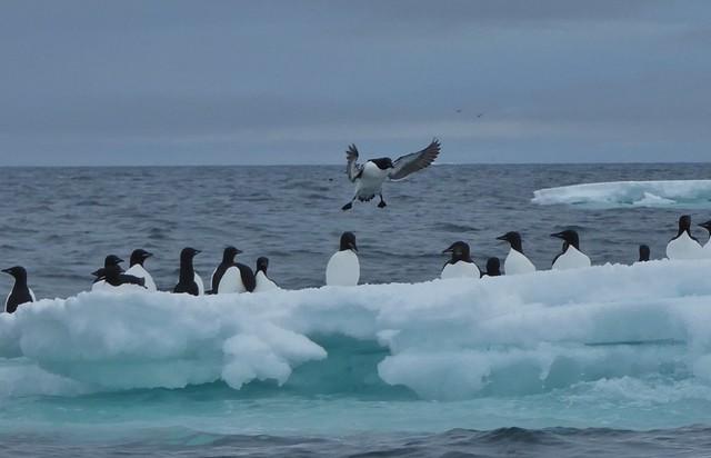 Araos de Brunnich sobre un iceberg en Svalbard