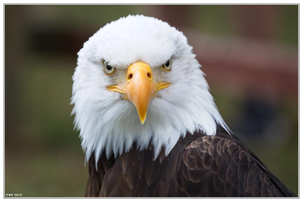 Bald Eagle Eye Contact Eagles Are Not Actually