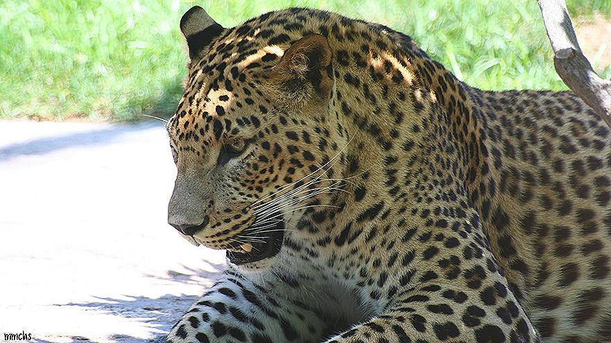 leopardo macro