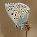 Chalk Hill Blue : Polyommatus coridon