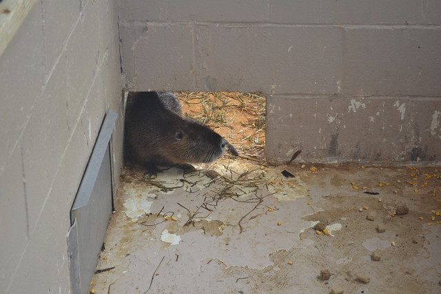 A nutria kept with the Chesapeake Bay Nutria Eradication Project