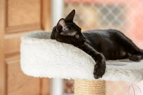 Bombón, gatita negra monísima y dulce esterilizada, nacida en Marzo´18 en adopción. Valencia. RESERVADA. 41635850110_1f3629acb7