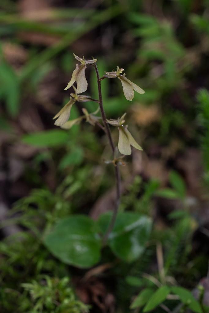 Appalachian Twayblade orchid