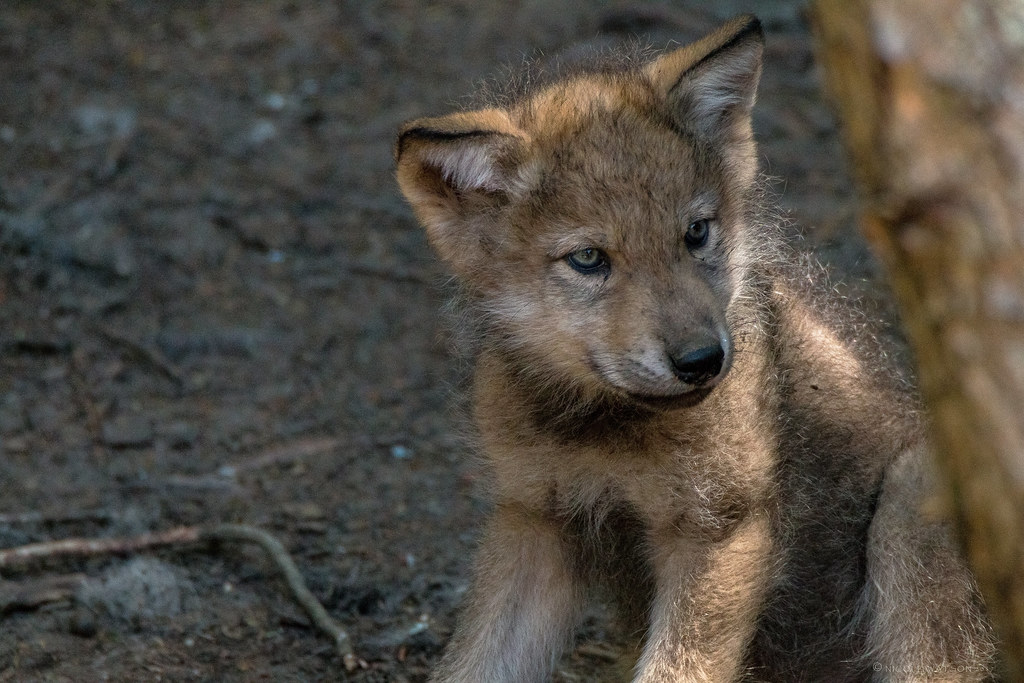Baby Wolf | Look at that face and those eyes... so cute ...