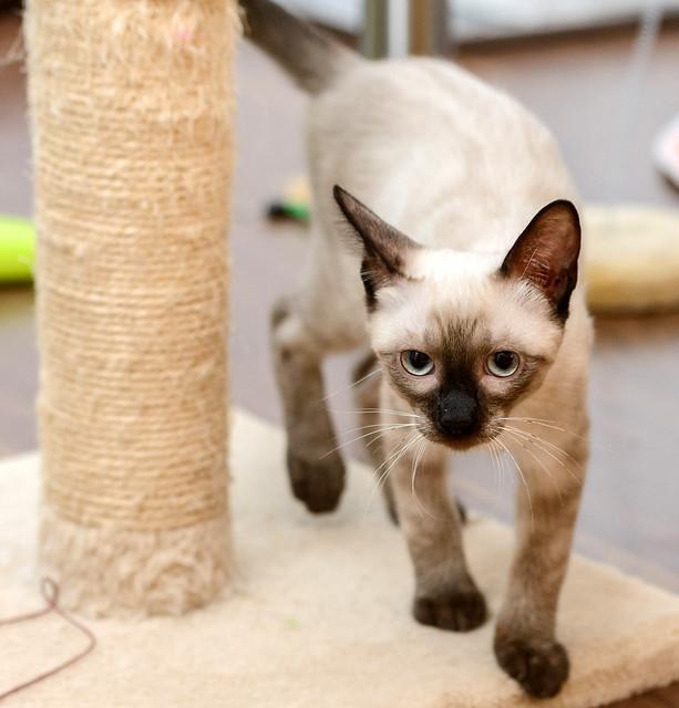 Boston, gatito Siamés Tabby reguapo y juguetón esterilizado, nacido en Marzo´18, en adopción. Valencia. ADOPTADO. 43385229802_b40b0f7e63_z