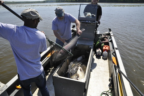 Photo of Natural Resources biologists catching blue catfish for scientific study