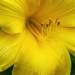 Yellow daylilly